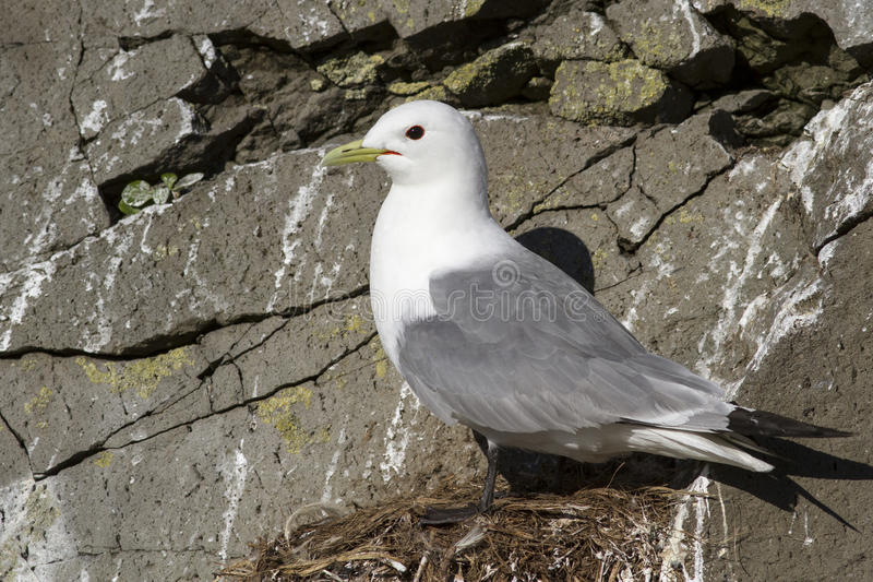 Black-legged kittiwake which sits near the nest on a rock on royalty free stock photography