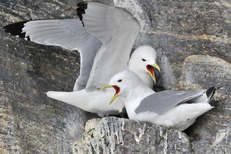 Black-legged Kittiwakes (Rissa tridactyla) nesting. Black-legged kittiwake (Rissa tridactyla) pair nesting on cliff, screaming, Bylot island, Baffin bay, Nunavut stock photo
