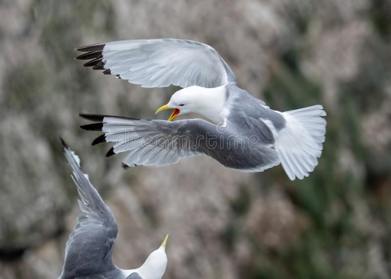 Black-legged Kittiwakes - Rissa tridactyla territorial dispute, Yorkshire royalty free stock photo