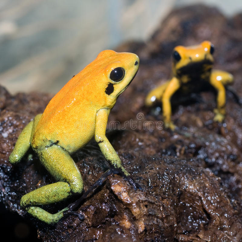 Black-legged poison frog. Two black-legged poison frogs royalty free stock images