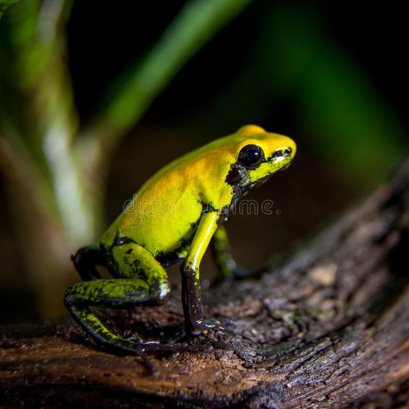 Black-legged poison frog. Let, Phyllobates bicolor in terrarium royalty free stock photography