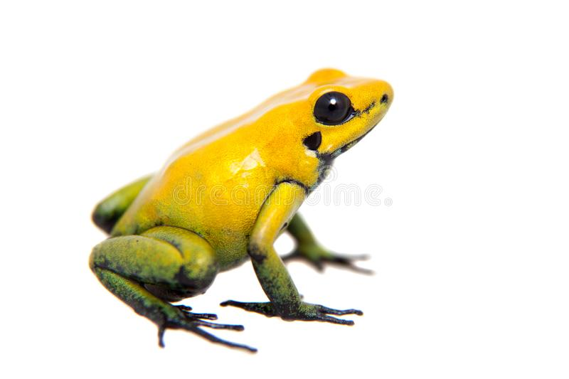 Black-legged poison frog on white. Black-legged poison frog, Phyllobates bicolor, on white, on white background royalty free stock photo