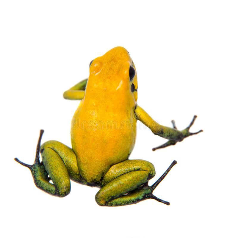 Black-legged poison frog on white. Black-legged poison frog, Phyllobates bicolor, on white, on white background royalty free stock images
