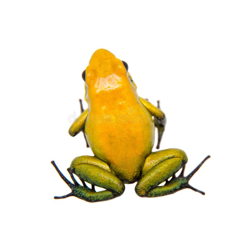 Black-legged poison frog on white. Black-legged poison frog, Phyllobates bicolor, on white, on white background stock photography