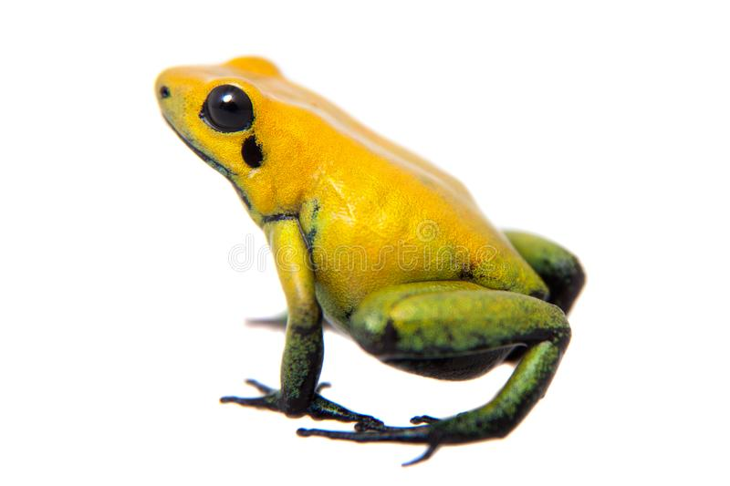 Black-legged poison frog on white. Black-legged poison frog, Phyllobates bicolor, on white, on white background royalty free stock photos