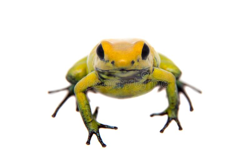 Black-legged poison frog on white. Black-legged poison frog, Phyllobates bicolor, on white, on white background stock photo