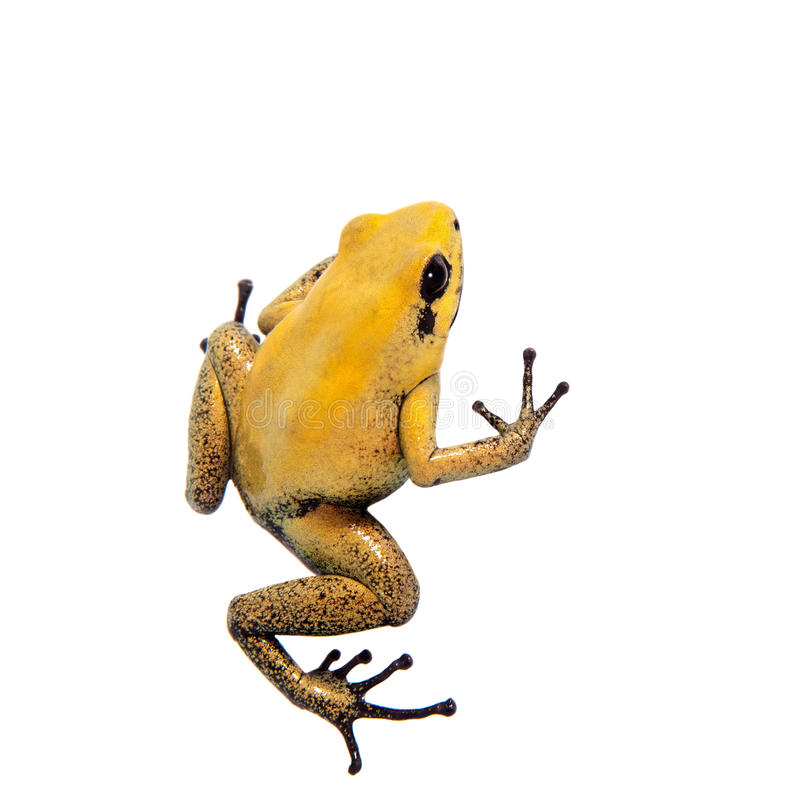 Black-legged poison frog on white. Black-legged poison frog, Phyllobates bicolor, on white, on white background royalty free stock photography