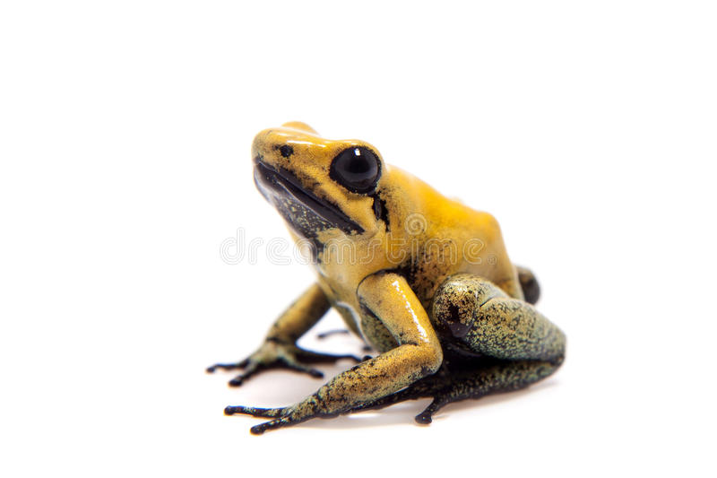 Black-legged poison frog on white. Black-legged poison frog, Phyllobates bicolor, on white, on white background royalty free stock photo