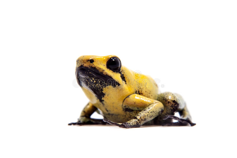 Black-legged poison frog on white. Black-legged poison frog, Phyllobates bicolor, on white, on white background stock photos
