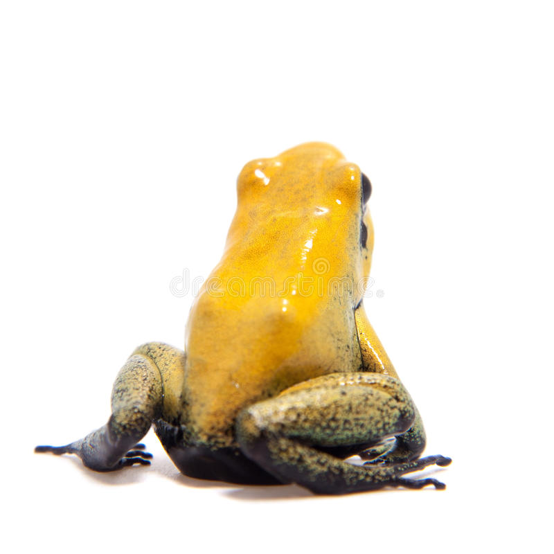 Black-legged poison frog on white. Black-legged poison frog, Phyllobates bicolor, on white, on white background stock images