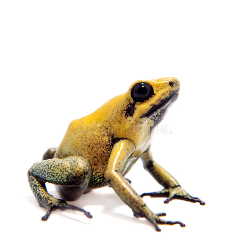 Black-legged poison frog on white. Black-legged poison frog, Phyllobates bicolor, on white, on white background stock image
