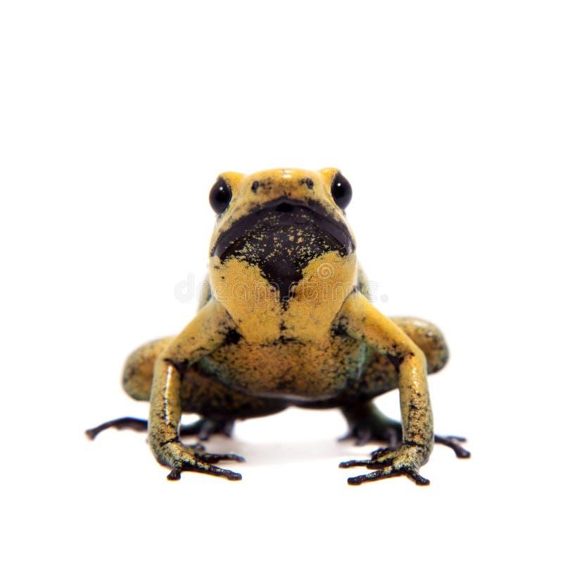 Black-legged poison frog on white. Black-legged poison frog, Phyllobates bicolor, on white, on white background royalty free stock photos