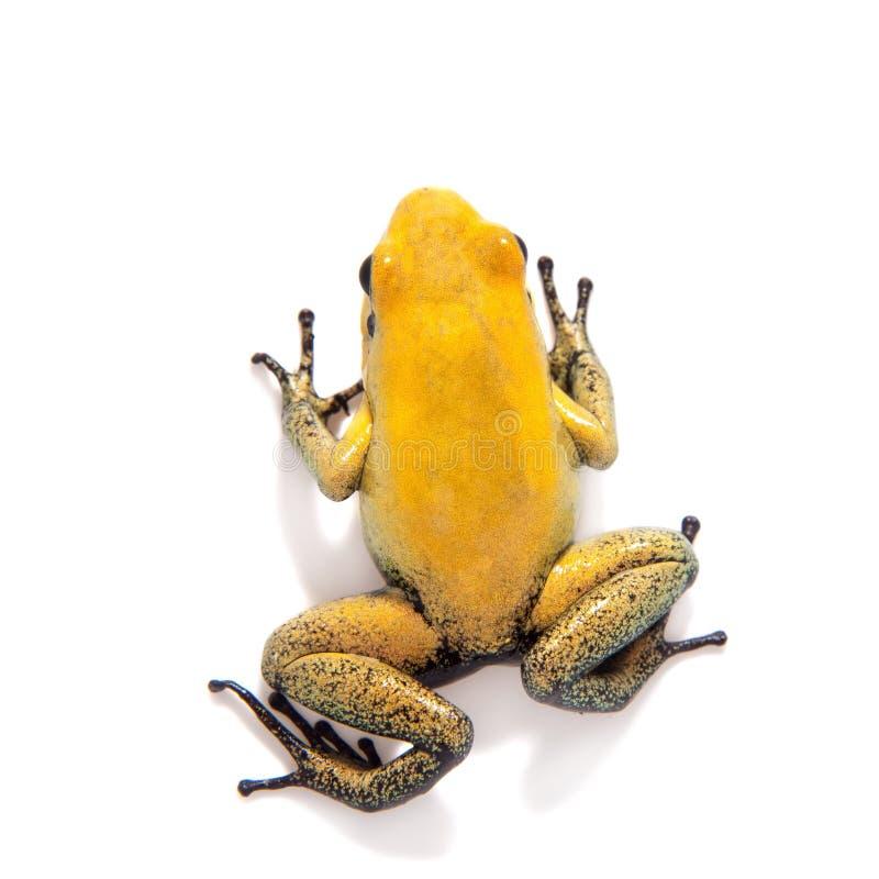 Black-legged poison frog on white. Black-legged poison frog, Phyllobates bicolor, on white, on white background royalty free stock images