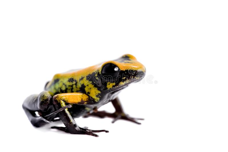 Black-legged poison froglet on white. Black-legged poison froglet, Phyllobates bicolor, on white, on white background stock photos