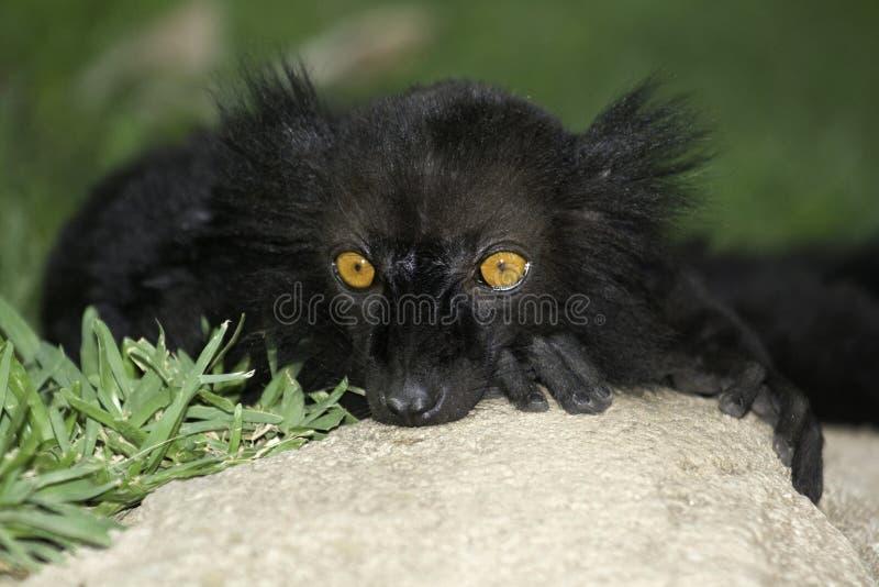 Black Lemur close up portrait stock images