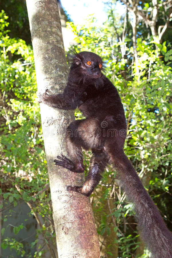 Black lemur (Eulemur macaco). Male, Nosy Komba, Madagascar. The black lemur displays sexsual dimorphism in coloration: Males have black fur while females have royalty free stock photo