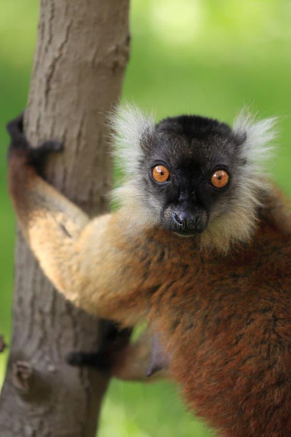 Black Lemur Female Stock Photography