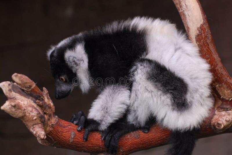 black lemur ruffed white στοκ εικόνα