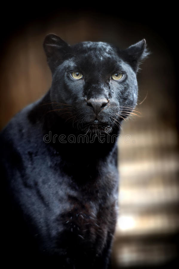 Black leopard. Beautiful black panther on dark bacground royalty free stock photo