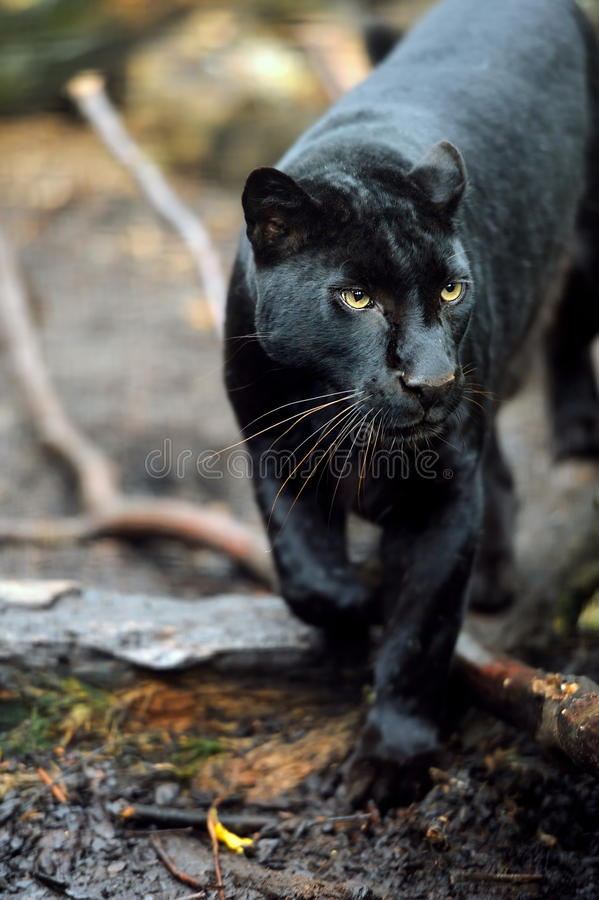 Black leopard. Portrait of Black leopard on fresh air stock image