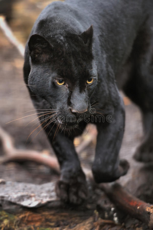 Black leopard. Portrait of Black leopard on fresh air stock photos