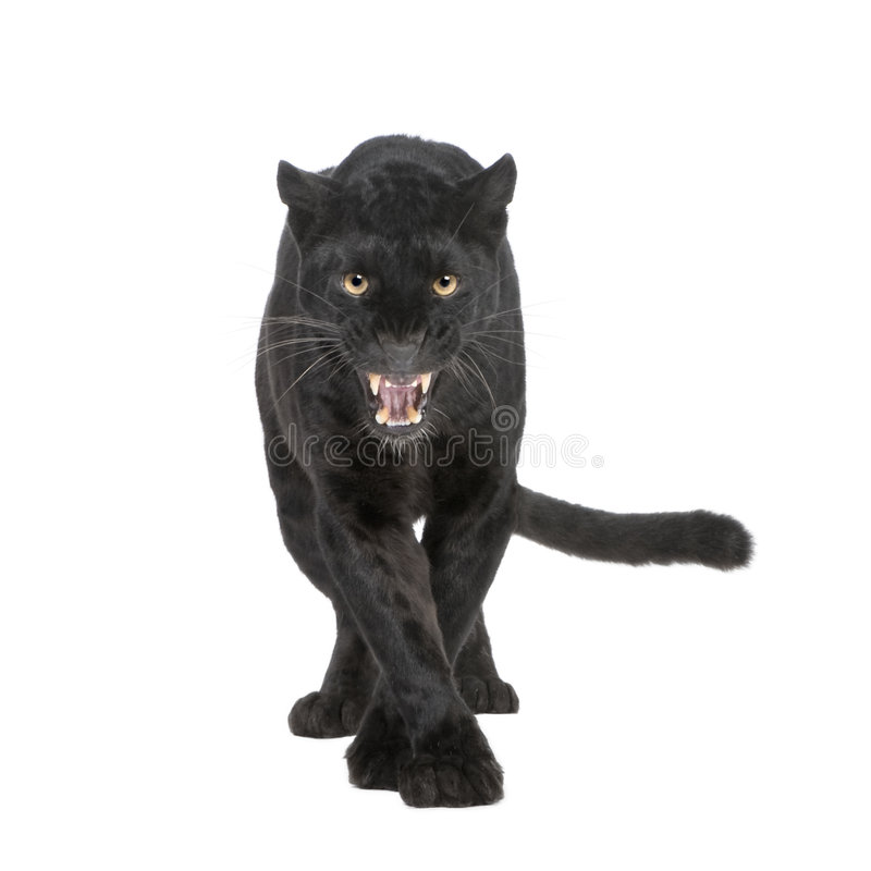 Black Leopard (6 years). In front of a white background royalty free stock photo