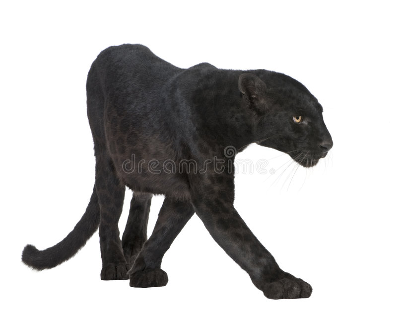 Black Leopard (6 years) royalty free stock photo