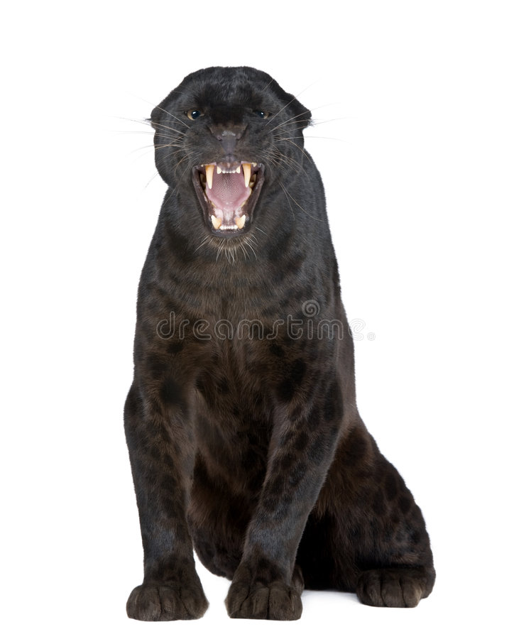 Black Leopard (6 years). In front of a white background stock photography