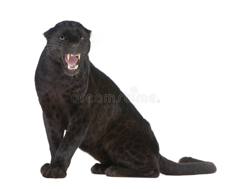 Black Leopard (6 years). In front of a white background royalty free stock image