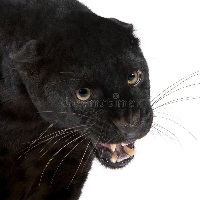 Black Leopard (6 years). In front of a white background royalty free stock photography