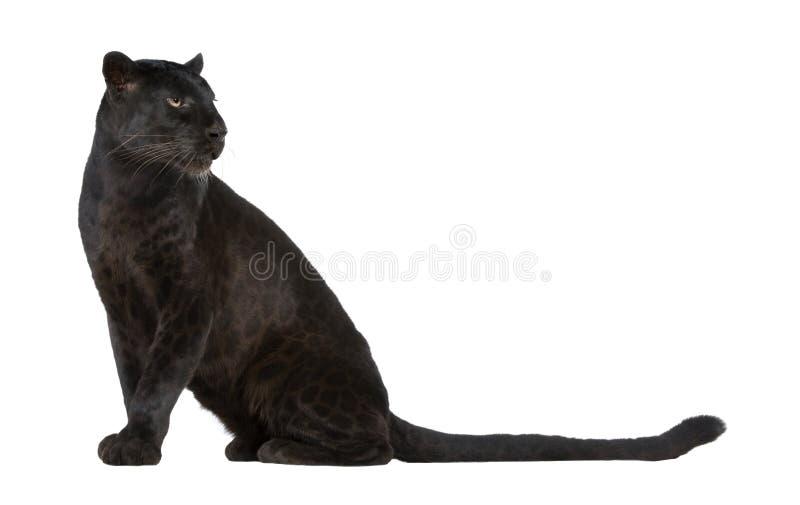 Black Leopard (6 years) stock photos