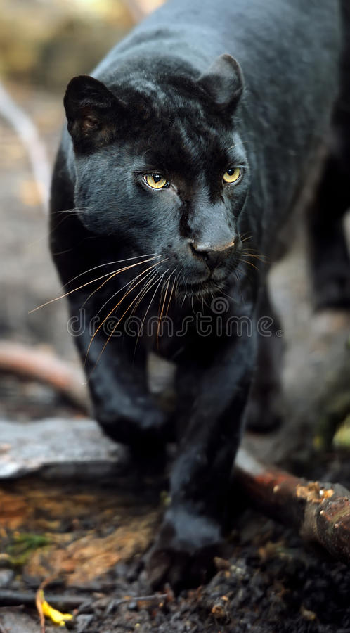 Black leopard. Beautiful predatory leopard on blurred background royalty free stock photography