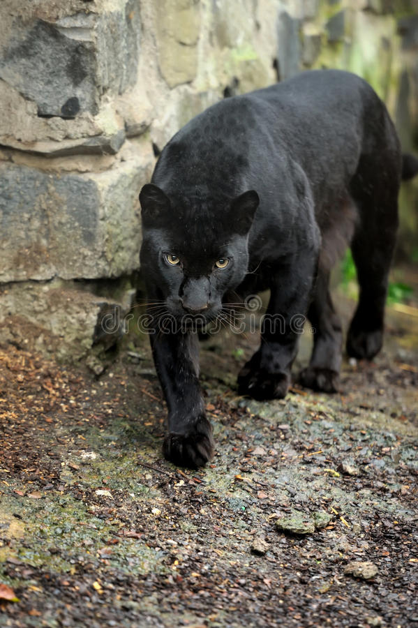 Black leopard. Beautiful ravenous wild leopard, blurred background royalty free stock photo