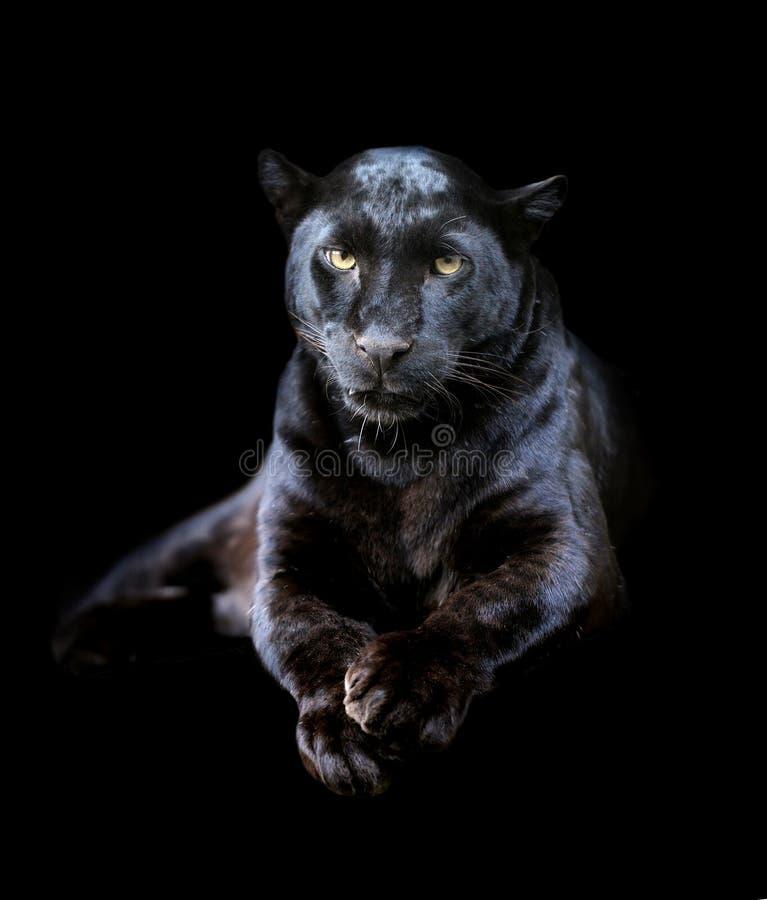 Black leopard royalty free stock photo