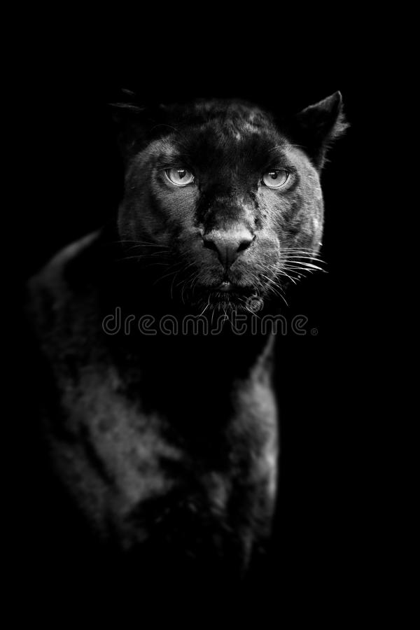 Black leopard on dark background royalty free stock image