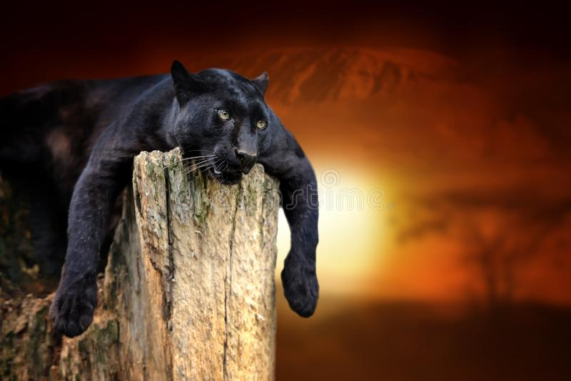 Black leopard on savanna landscape background and Mount Kilimanjaro at sunset stock photography
