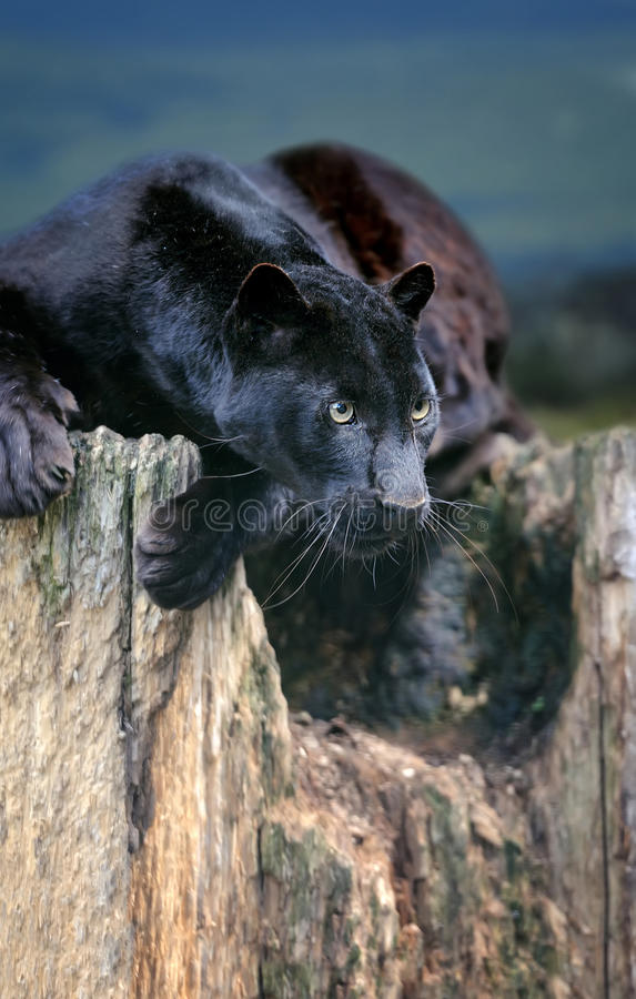Black leopard royalty free stock photos