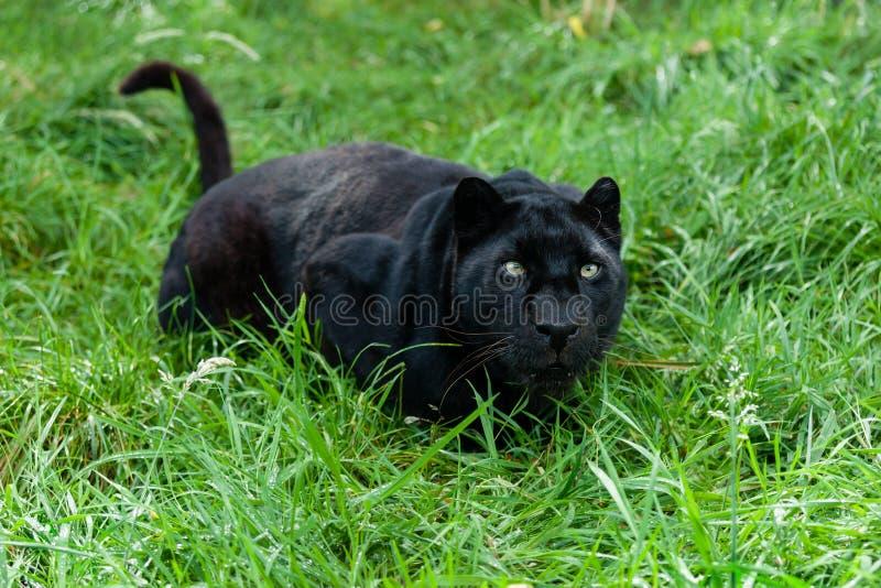 Black leoparden som är klar att pounce i långt gräs royaltyfria bilder
