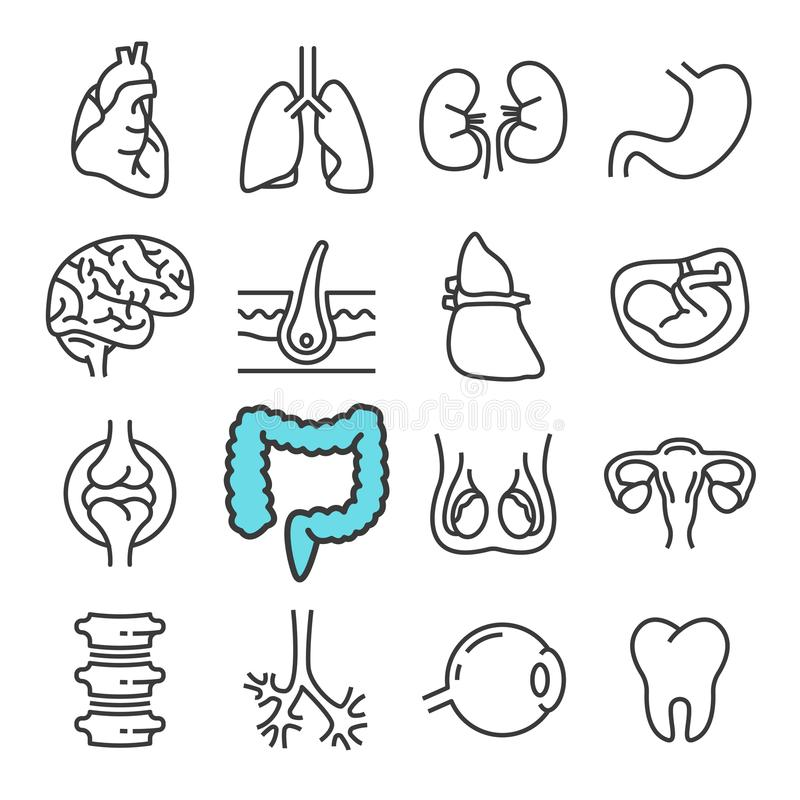 Black line Internal Organs icons set. Includes such Icons as Liver, Heart, Embryo. Pictogram royalty free illustration