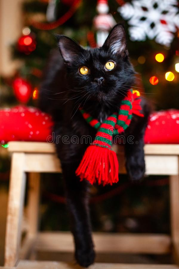 Black little cat Maine coon with red and green scarf near Christmas tree.  stock image