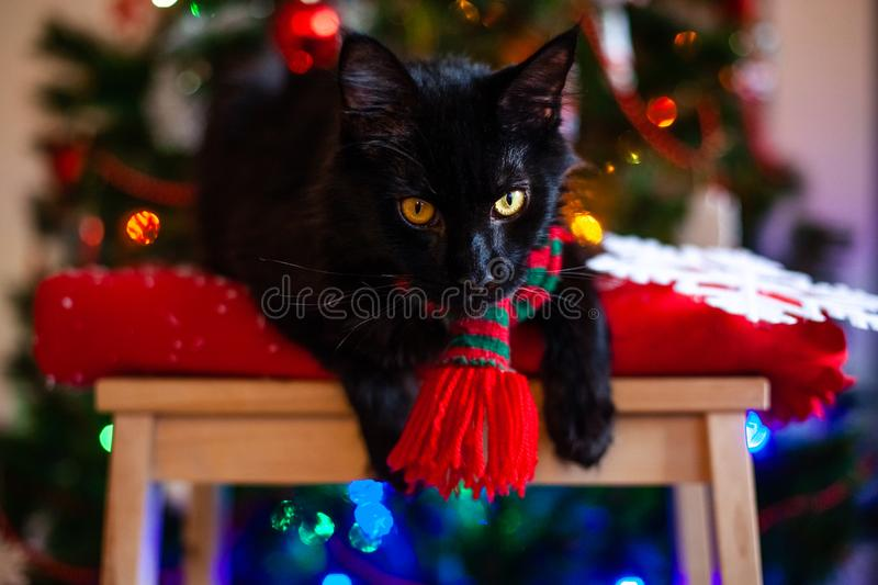 Black little cat Maine coon with red and green scarf near Christmas tree.  royalty free stock photography