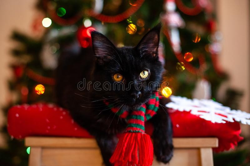 Black little cat Maine coon with red and green scarf near Christmas tree.  stock photos