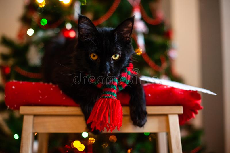 Black little cat Maine coon with red and green scarf near Christmas tree.  royalty free stock images
