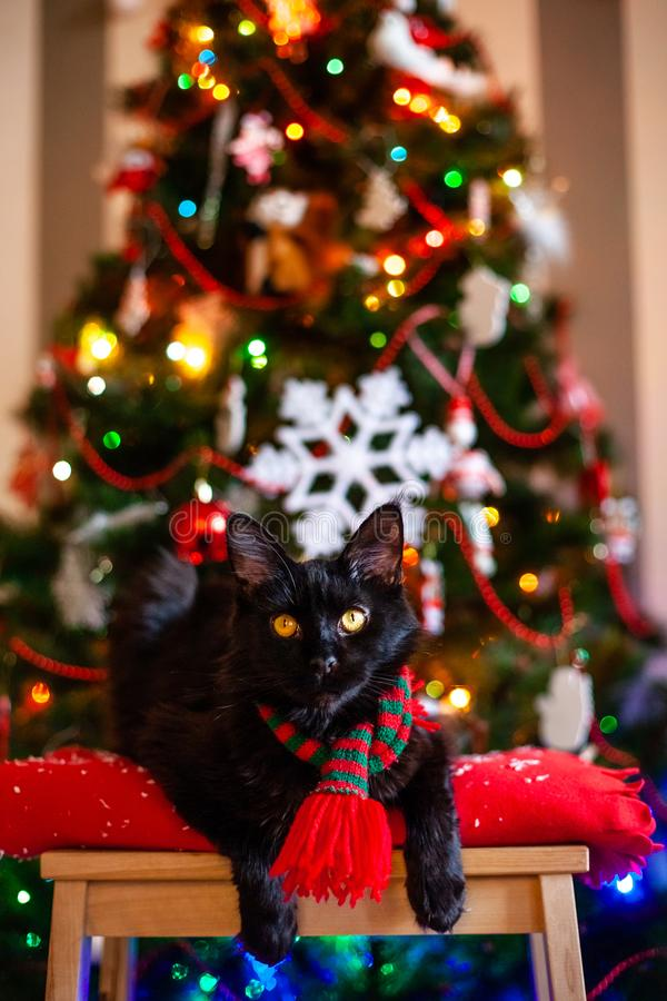 Black little cat Maine coon with red and green scarf near Christmas tree.  stock photo