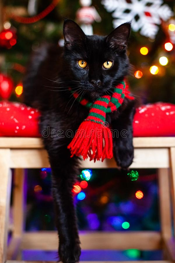 Black little cat Maine coon with red and green scarf near Christmas tree.  royalty free stock photo