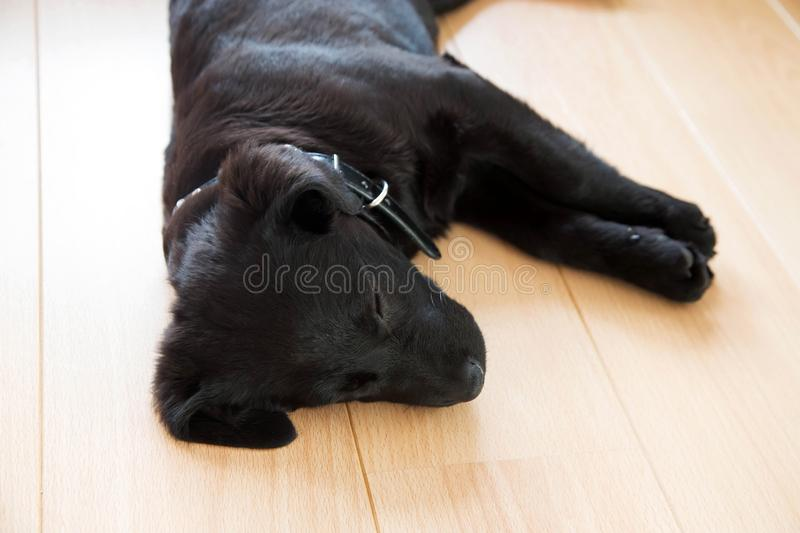 The black little sweet puppy is fast asleep. Labrador puppy sleeps sweetly. The black little sweet puppy is fast asleep. Pets care and maintenance royalty free stock photo