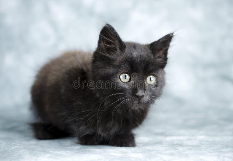 Black long hair kitten. Male fuzzy black long-haired kitten cat. Animal Shelter adoption photoraphy for Walton County Animal Contro, Georgia, USA. Humane society stock image