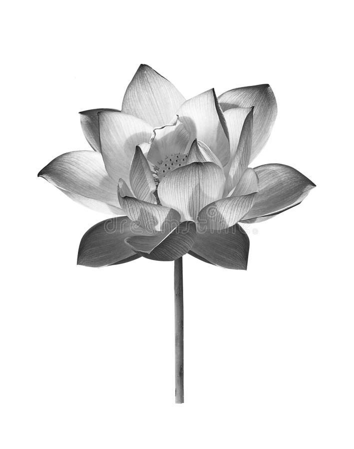 Black lotus flower on white background royalty free stock photography