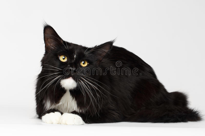 Black Maine Coon Cat Lying, Looking up, on White Background. Black Maine Coon Cat with Yellow eyes, Lying and Curious Looking up, on White Background, Front view royalty free stock photo