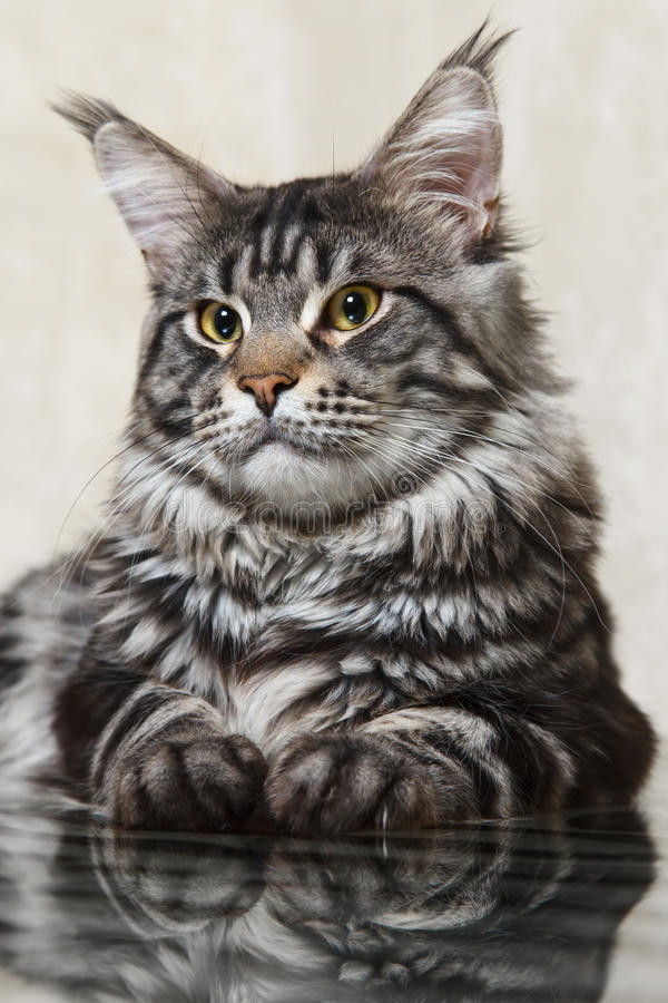 Black maine coon cat posing on glass table royalty free stock image